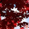 RED MAPLE LEAVES – PACK OF 10 – $20