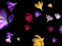 RAIN OF FLOWERS – COLORFUL CROCUS – $10