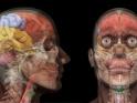 HUMAN HEAD ANATOMY – LOOP – $10