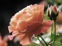 ROSE FLOWER – 03 – LOOP – $10
