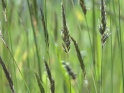 GRASS AT THE WIND – 06 – $10