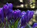 BLUE CROCUS & FOREST POND – $25