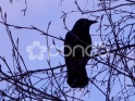BLACK BIRD CROW, RAVEN – SILHOUETTE ON TREE – $25