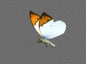 FLYING BUTTERFLY – ASIAN ORANGE TIP – LOOP – $10
