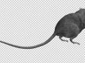 GRAY RAT – JUMP RUN LOOP – BACK ANGLE – $10