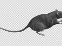 GRAY RAT – JUMP RUN LOOP – SIDE VIEW – $10